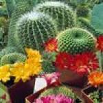 Семена кактуса