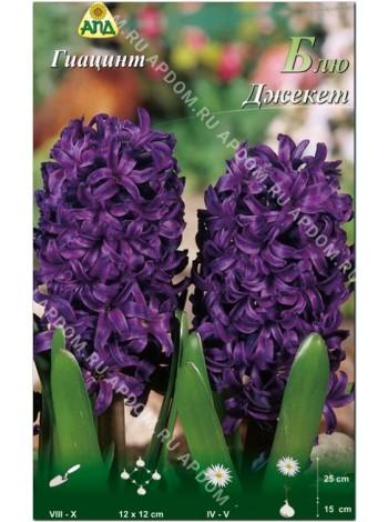 Гиацинт Блю Джекет (Hyacinthus Blue Jacket)