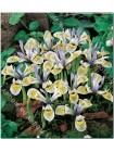 Ирис хистроидес Катарина Ходкин (Iris histrioides Katharine Hodgkin)
