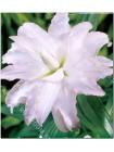 Лилия Блашинг Гел (Lilium oriental Blushing Girl)