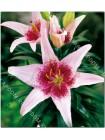 Лилия Дот Ком (Lilium asiatic Dot.Com)