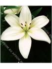 Лилия Йети (Lilium asiatic Yeti)