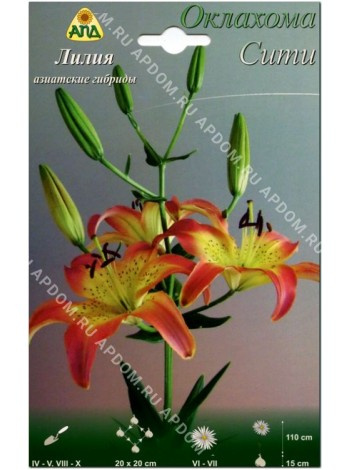 Лилия Оклахома Сити (Lilium asiatic Oklachoma City)