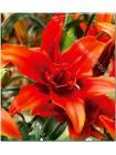 Лилия Ред Твин (Lilium asiatic Red Twin)