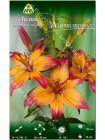 Лилия Хартстрингс (Lilium asiatic Heartstrings)