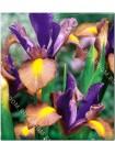Ирис голландский Джипси Бьюти (Iris hollandica Gipsy Beauty)