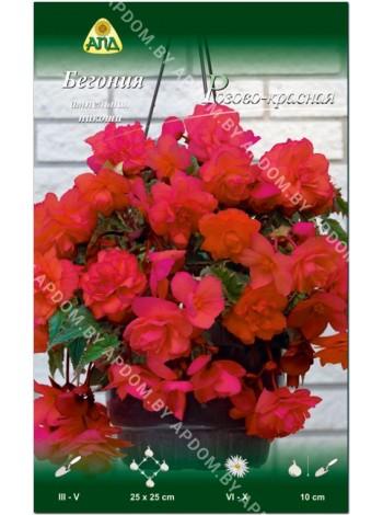 Бегония ампельная пикоти Розово-красная (Begonia Hanging Basket pendula picotee)