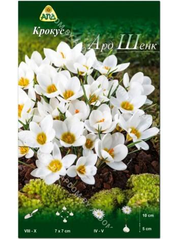 Крокус Ард Шенк (Crocus chrysanthus Ard Schenk)
