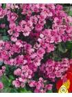 Арабис розовый (Arabis alpina grandiflora rosea)