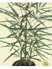 Дизиготека элегантная (Dizygotheca elegantissima)